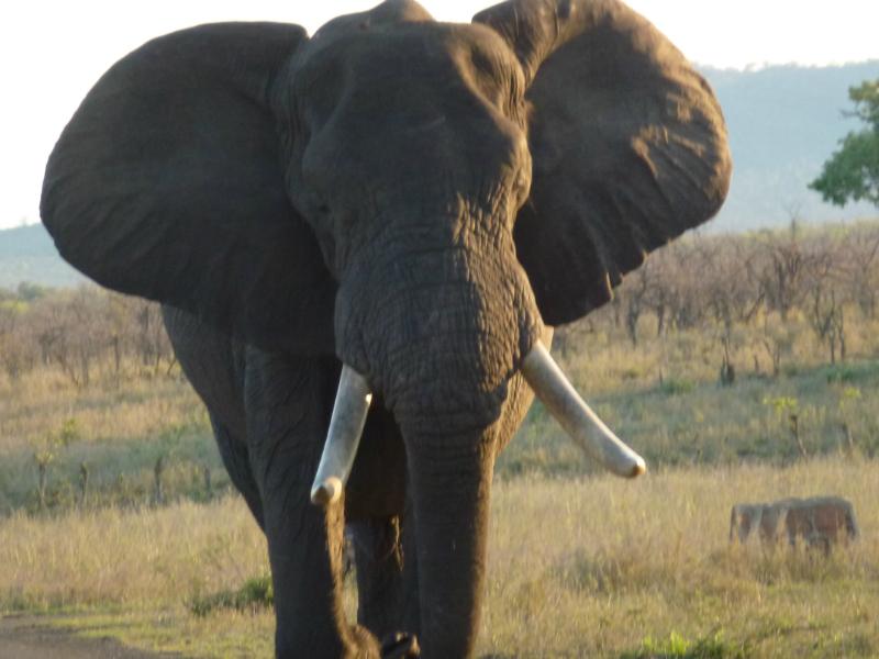In Het Krugerpark Komen Alleen Afrikaanse Olifanten Voor