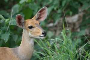 Enkele honderden meters verder op loop ik vast in het dichte struikgewas, waar een paar impala's lopen te grazen.