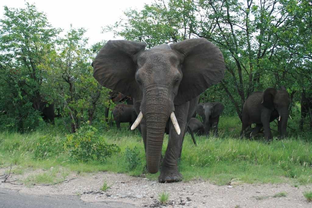 Op hetzelfde moment komt er een grote olifantkoe met wapperende oren - een signaal voor irritatie - op de auto af.
