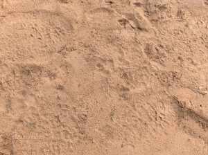 bush walk Skukuza - Fred VI Kruger 28 jan. 2011 059 - Dan maakt de altijd alerte ranger ons ineens opmerkzaam op het nog verse spoor van een panter: een zachte voetafdruk in het losse zand van een voetkussentje met vier tenen, zonder nagels!