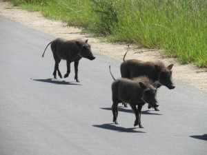 Een ouderpaar wrattenzwijnen dribbelt met een dartel aantal koddige biggetjes over het asfalt.