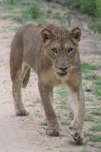 Krugerpark Afrika Wildlife / fotoFemke V Kruger 30 jan. 2011 155