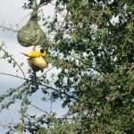 Je hoeft echt niet specialist in bird watching te zijn om deze vogels te zien. Datzelfde geldt voor de wevertjes met hun typische nestbouw, die hier en daar in groten getale in bomen of boven het water aan het riet hangen. - Eos Kruger 13 jan. 2011 058