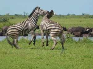 de rijkdom aan wild life in het Krugerpark is enorm Marjo Kruger 2012 466