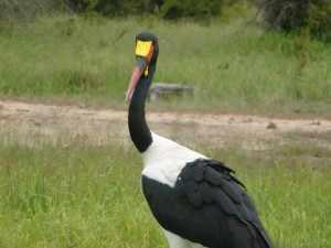 Ooievaars zijn er in soorten en maten in het park. Marjo Kruger 2012 672