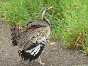 Tot slot is er nog een categorie vogels; de gevleugelde exemplaren die wat minder 'vluchtig' zijn bij bird watching en waar je in ieder geval meestentijds geen verrekijker voor nodig hebt. - boskorhoen - Marjo Mopani eerste week 2011 069