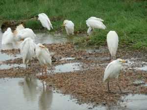De strandhoudende rivieren met aangrenzende dichte bossen vormen een populair leefgebied voor waterminnende vogels. - Marjo Mopani eerste week 2011 190
