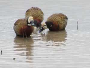 Als groep zijn de eenden niet erg sterk vertegenwoordigd in de wildtuin. Van de 17 inheemse soorten in Zuid-Afrika zijn er slechts zes regelmatig te zien in het Krugerpark, zes soorten zijn gelegenheidsbezoekers. - SX30 Kruger 15 jan. 2011 037