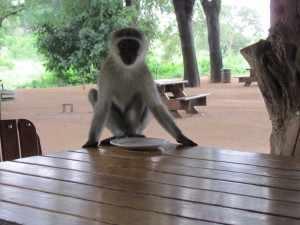 Vanmorgen in de motregen groene meerkatten en zebra-mangoesten aan de ontbijttafel gehad.- SX30 Kruger 21 jan. 2011 036 (2)
