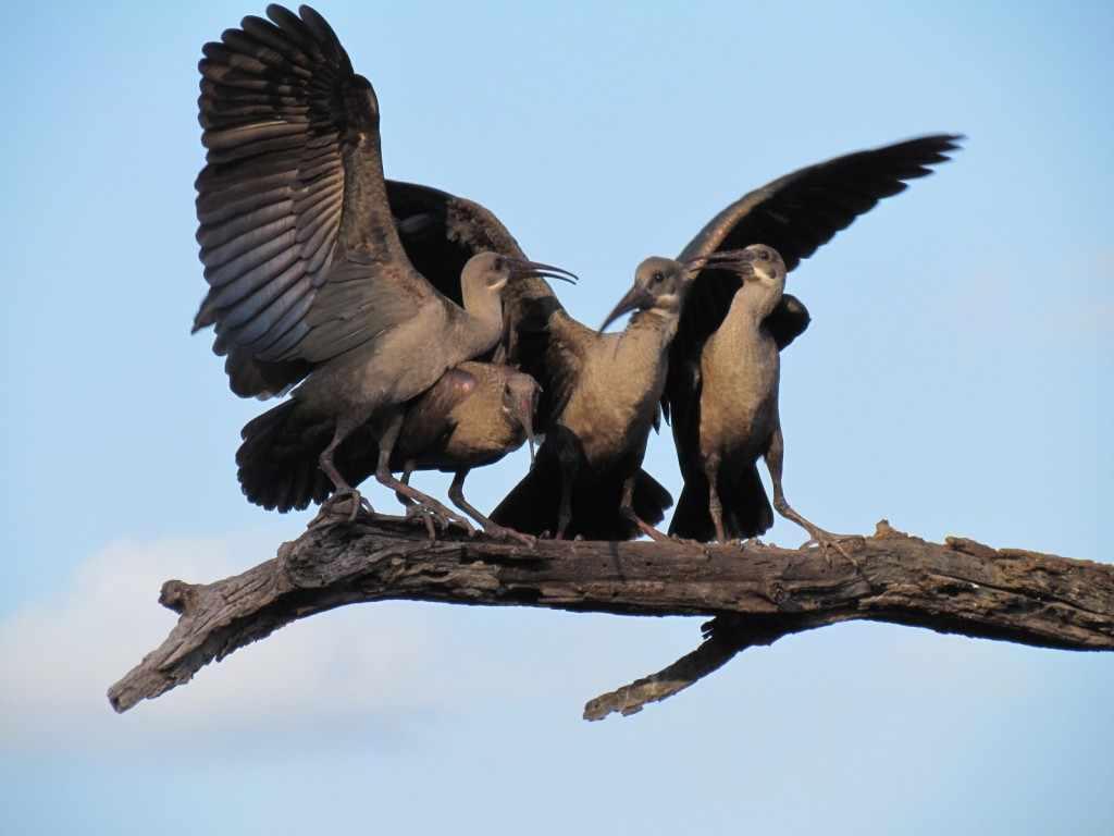 Dé plek voor bird watching in het Krugerpark is een zogenoemde 'hide'. Hiervan zijn er een groot aantal in het park te vinden. Ook Lake Panic hide is speciaal ingericht voor bird watchers. SX30, Kruger 25 jan. 2011 064