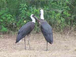 Ooievaars zijn er in soorten en maten in het Krugerpark. - SX30, Kruger 27 jan. 2011 031