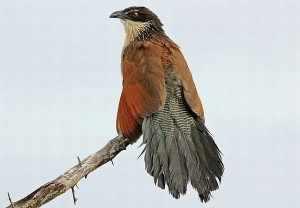 Zo doen wij in het Krugerpark aan bird watching vanaf de ontbijttafel. Burchell-koekoek - op z'n Engels: Whitebrowed Coucal of op z'n Zuid-Afrikaans: Vleiloerie. - vlei loerie 391_BC_zps1a0eb046