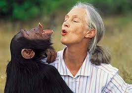 Jane Goodall is chimpansee kenner bij uitstek. Wereldberoemd vanwege haar werk als antropologe en biologe.
