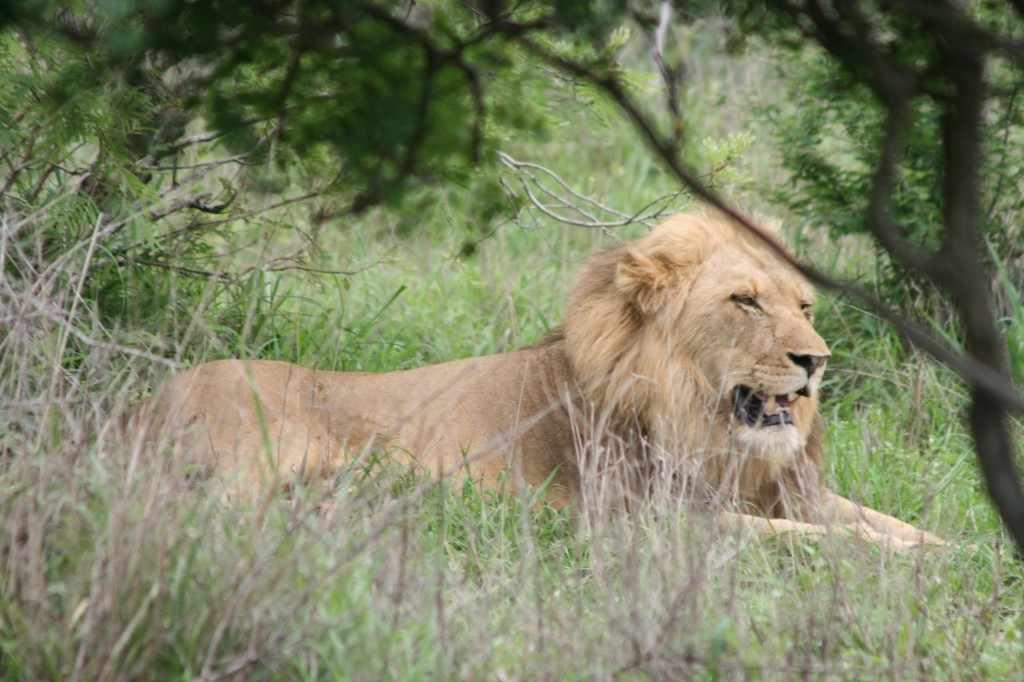 De grootte en de manen van het mannetje geven het dier een imposant uiterlijk, waardoor de leeuw in grote delen van de wereld bekend staat als de koning der dieren.