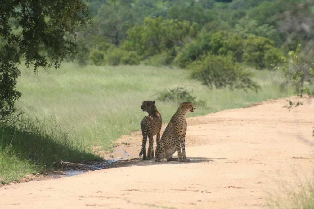 De volgende afbeelding is genomen in januari 2012 vlak bij Mlondozi dam in het Krugerpark. Deze bijzonder fraaie foto van een tweetal cheetah's, gebroederlijk op de uitkijk, is gemaakt door Marleen Huyge, werkzaam in de Belgische Zoo Planckendael.