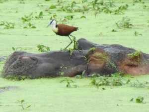 NIJLPAARD 'AFRICA' IN KAMEROEN Het zijn koddige dieren, nijlpaarden, Sinds mei 2006 staat het nijlpaard op de IUCN Rode Lijst