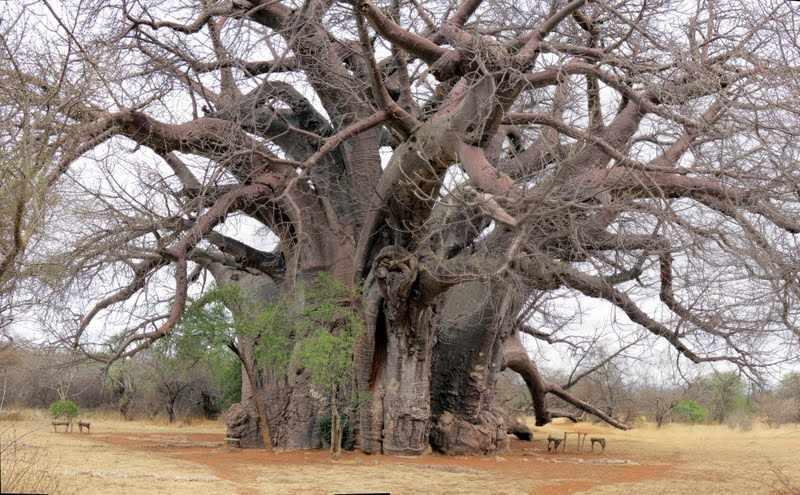 Van alle Krugerpark vegetatie speelt de baobab zowel in het culturele als economische leven van de Afrikaan de belangrijkste rol.