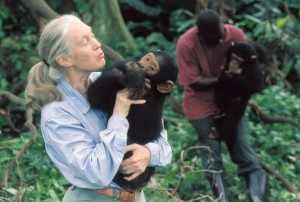 Vanaf begin jaren -60 is zij de chimpansees van Gombe Stream National Park gaan bestuderen, waarvan zij een groot aantal jaren directrice is geweest.