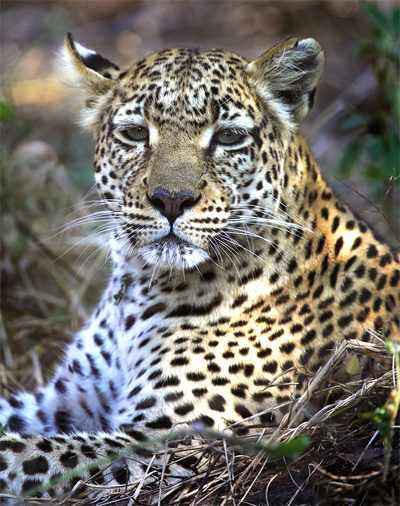 De luipaard of panter (Panthera pardus ) is een grote carnivoor, een vleeseter dus. Carnivoren zij ook predatoren, dat wil zeggen dieren of een ander organismen die hun prooi actief bejagen om het te doden. Daarenboven is de luipaard of panter een roofdier.
