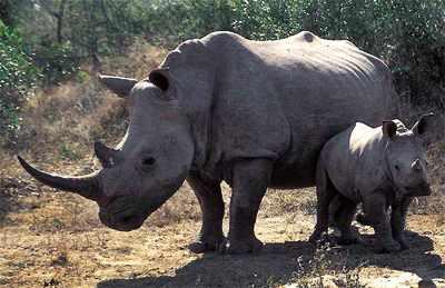 Neushoorn: De familie van de neushoorns (Rhinocerotidae) bestaat uit vijf soorten die voorkomen in Afrika en Azië.