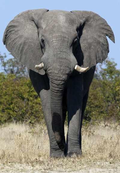 Er worden tee olifantensoorten onderscheiden: de Afrikaanse en de Aziatische. In het Krugerpark bevinden zich uitsluitend Afrikaanse olifanten.
