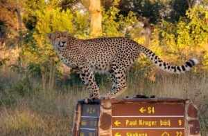 Krugerpark een ongerepte tuin in Afrika.