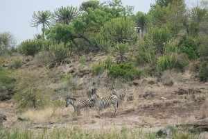 Aan de overkant van het dammetje bij Shipandane night hide grazen een aantal zebra's op een helling die begroeid is met fraaie succulent-achtige bomen. IMG_3094