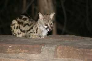 's Avonds stelt een loslopende genet-kat zich tactisch op, vlak bij de braai in Punda Maria, in afwachting of er iets overblijft van het geurige gebraad van de kampgasten. IMG_3178