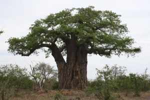 Krugerpark vegetatie. Met name in reservaten kan de olifanten populatie zo uitgroeien, dat zij een bedreiging vormen voor de vegetatie, waaronder de baobab. IMG_3182