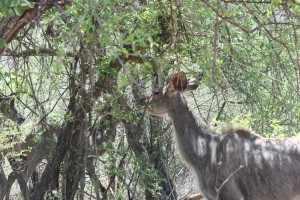 Door het struikgewas bij Punda Maria ritselt een koppeltje nyala antilopen, een elegant bewegend lichtbruin gestreept vrouwtje met in haar kielzog een grijsbruin harig mannetje met een bokkige motoriek. IMG_3196