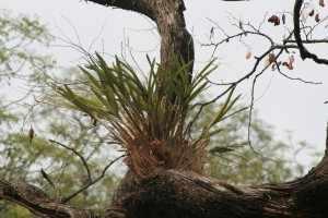 We denken terug aan het bosrijke vogelparadijs van Punda Maria met z'n regenwoud-achtige bossen, waar net als in de regenwouden bepaalde plantensoorten als epifyt hoog in de bomen groeien - IMG_3211