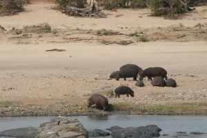 Aan de overkant van de Tsendze waggelen moddervette nijlpaarden over de oever.