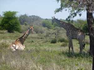 In de omgeving van Satara komen we tussen de geurende gele bloesem van de acacia een wildebeest, een paar kleurrijke giraffen en enkele zebra's tegen. P1070024