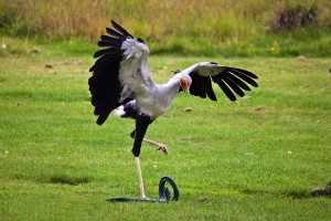 Tihongonyeni - Iets verderop krijgen we een secretarisvogel in het vizier. Dat is een beetje een excentrieke vogel, die zich niet zo vaak vertoont op de open savanne. secretarisvogelIMG-p21Madeleine