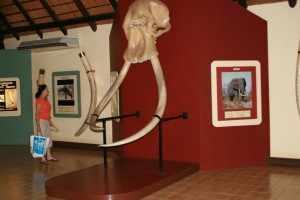 Het olifantenmuseum ligt in restcamp Letaba, een restcamp 47 km. ten zuiden van kamp Mopani.