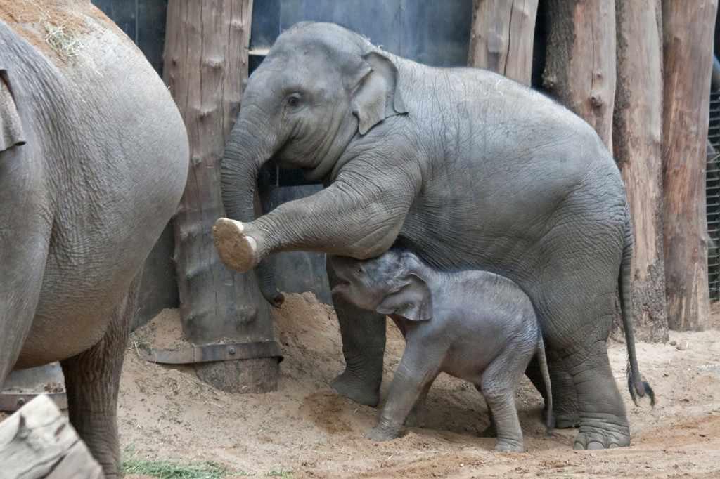 Inmiddels is de naam bekend van het kleine olifantje: ................ zijn naam is KYAN. Dat betekent Kleine Koning. Hij weet zich al meteen aan de bron van zijn bestaan te laven. Moeder Indra maakt hem daarbij instinctief gemakkelijker door haar voorpoot op te tillen.