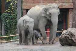 Na bijna 22 maanden zwangerschap is moeder Indra vanochtend in dierenpark Amersfoort ( donderdag 1 november 2012 ) rond half 6 bevallen van een kerngezonde babyolifant.