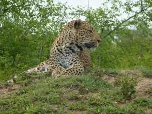 Krugerpark fotoboek luipaarden - luipaard/panter