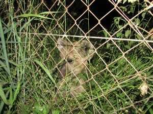 Ieder avond zit hier een hyena puppy geduldig en met een aandoenlijk koppie te wachten op lekkere hapjes en versnaperingen die hem van over de omheining toegeworpen worden .