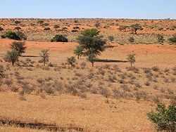 De Kalahari, Land van de Grote Dorst, is een halfwoestijn in Namibië.