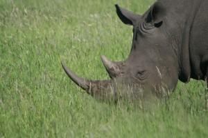 De hoorn van de neushoorn is opgebouwd uit keratine, zoals menselijke nagels en haar. Het is in feite 'dood materiaal'. Er wordt vooral in Aziatische landen een 'magische' kracht aan toegekend, die absoluut ongegrond is. Eos Kruger 13 jan. 2011 056
