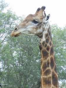 De giraffe is het hoogste zoogdier van het park, dus echt ook wel een van de Krugerpark highlights. Fred II Kruger 2012 405