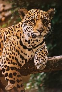 Krugerpark fotoboek luipaarden - jaguar