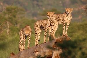Krugerpark fotoboek luipaarden - cheetah's/jachluipaard