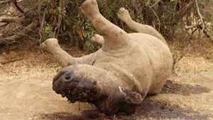 """""""Het karkas van een neushoorn in Kruger Park. Het dier werd vermoedelijk gedood om zijn hoorns."""" © reuters"""