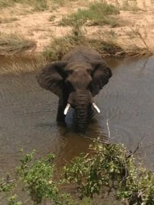 Krugerpark bekendste wildparken in Afrika bescherming te bieden aan het wildleven dat langzaam aan door de intensieve jacht met uitsterven bedreigd raakte. olifant bij Mopani Picknick