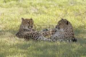De twee cheetah's zijn ongetwijfeld uit het zelfde nest. Het is waarschijnlijk een van hun eerste zelfstandige uitstapjes in de grote wildernis.