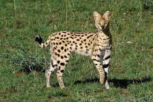 Krugerpark bush moment, een serval-kat