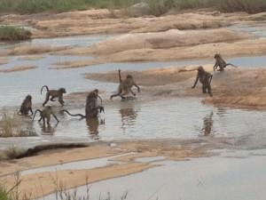 Een groep van zo'n 60 bavianen vermaakt zich uitstekend in de verfrissende plas bij Skukuza.