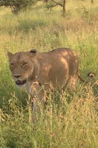 Krugerpark bush moment. Plotseling wandelt er een leeuwin mee langs de auto.